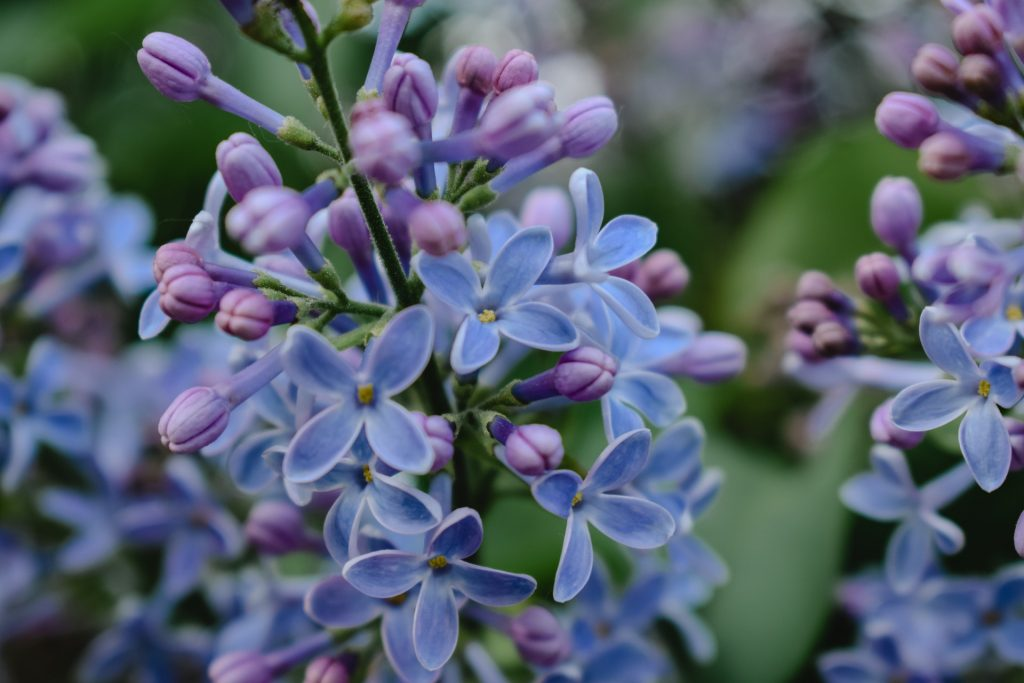 french flowers french lilac