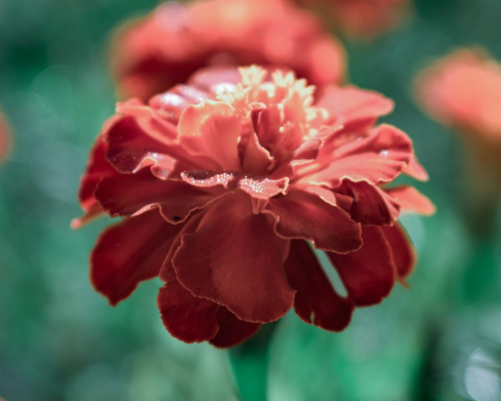 french flowers french marigold red