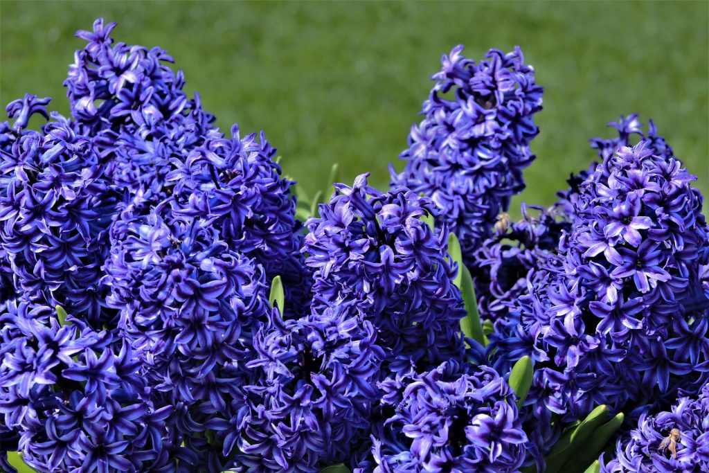 french flowers french hyacinth